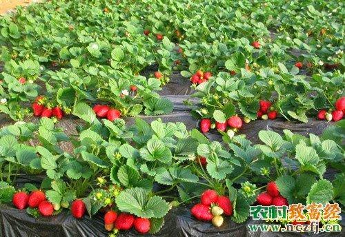 致富项目:大棚种植草莓