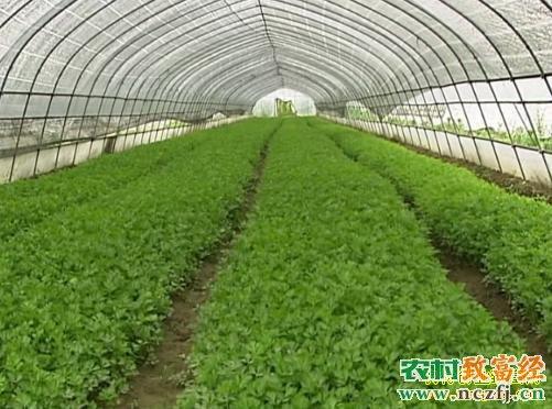 导读:2015年9月14日农广天地]温室大棚蔬菜轮作技术。科学、合理的轮作对提高农作物的产量和品质具有十分明显的作用,这是一项不花钱的增产增效措施,如何才能做到科学、合理的轮作呢?本片从以下几个方面进行了介绍:一是连作障碍对温室大棚蔬菜产量和品质的影响