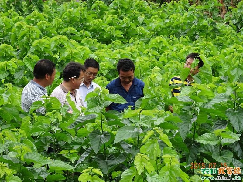 [科技苑]桑葚种植技术:桑园里的革新